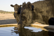 Cattle Drinking From A Trough ...