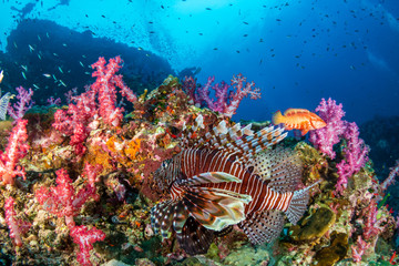 Predatory Lionfish patrolling a colorful, healthy tropical coral reef (Richelieu Rock, Thailand)