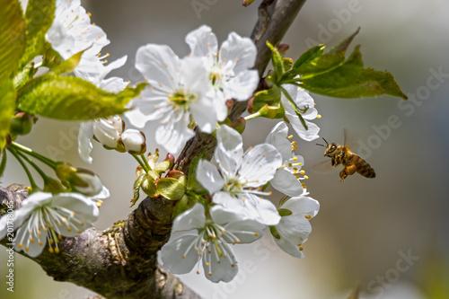 Biene (Apiformes, Anthophila) auf Kirschblüte im Frühling