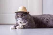 British Short Hair Cat Wears A...