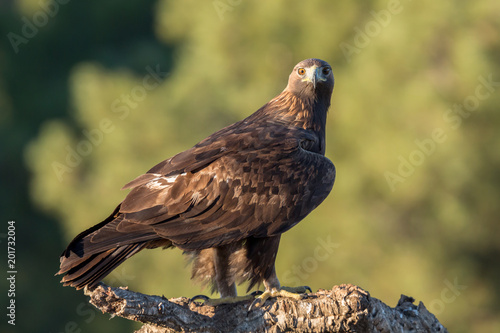 Golden eagle (Aquila chrysaetos), Andalusia, Spain