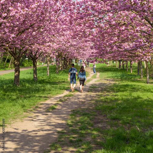 Zdjęcie XXL Ludzie cieszą się wiśniowy kwiat w parku