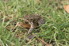 Frogs Mating On The Grass In S...