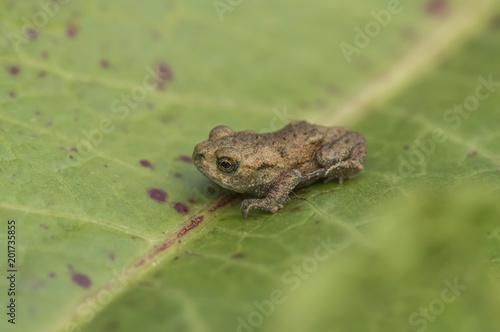Frog sitting on a leaf in Scotland Canvas Print