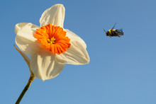 Bumble Bee Flying Towards A Flower