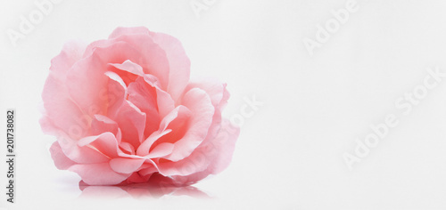 Foto op Canvas Roses Rosa Rose