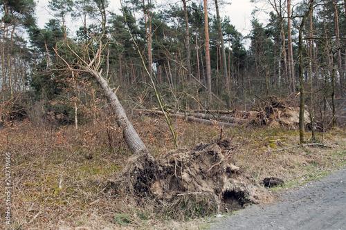 Fotografia  Entwurzelter Baum