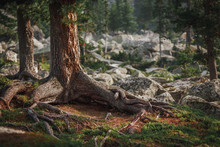 Old Coniferous Trees And The Forest Of Siberia. Wild Nature Of Russia