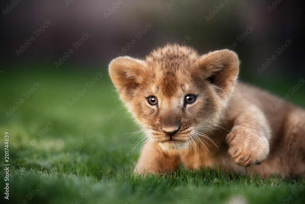 Fototapeta Young lion cub in the wild