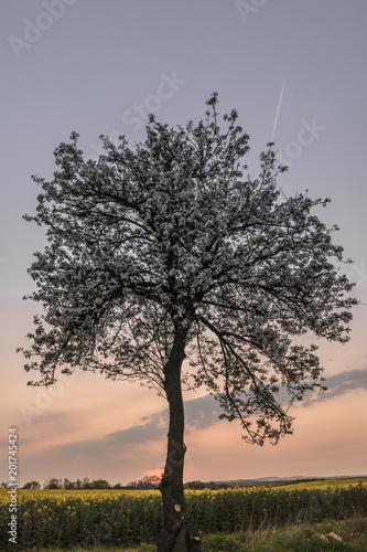 kwitnaca-wisnia