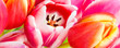 Leinwanddruck Bild - Tulpen