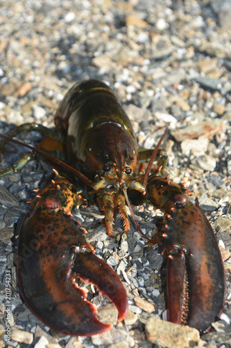 Large red canadian lobster on the rocky coast