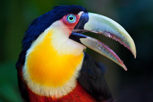 Big Toucan In Tropical Forest Of Brazil, Closeup Portrait.