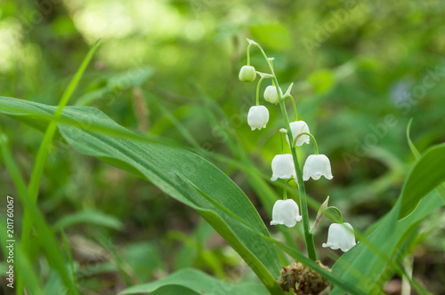 Fototapety, obrazy: closeup of lily of the valley flowers in the forest