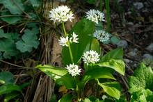 Bärlauch Mit Blüte, Allium U...