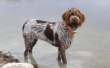 Wire-haired Pointing Griffon O...
