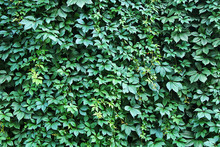 Background Of A Fragment Of Leaves And Stems Of A Green Flowering Bush In The Park
