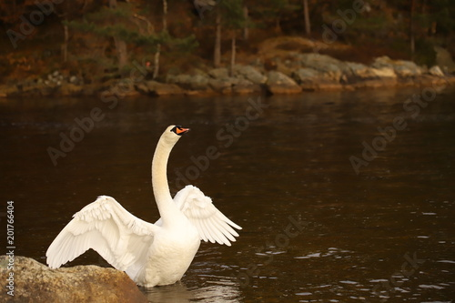 Foto op Canvas Zwaan White male swan