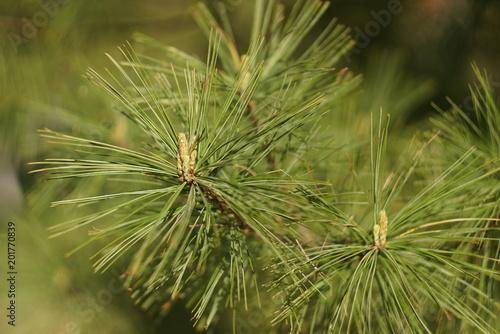 Fototapeta Young pine branch in spring close up  obraz na płótnie