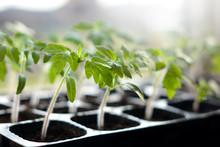 Tomato Seedlings In Plastic Po...