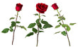 canvas print picture - Set of three beautiful vivid red roses on long stems with green leaves isolated on white background.