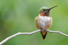 Ruby-throated Hummingbird Perched On A Twig.