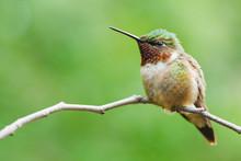 Ruby-throated Hummingbird Perc...