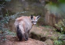 Big Eared (bat-eared) Fox Over...