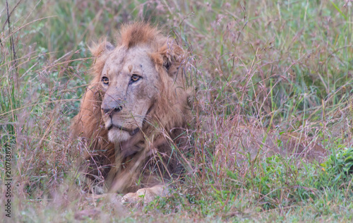 male lion resting in the grass