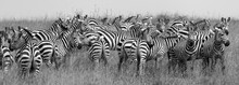 Herd Of Zebra At The Watering ...