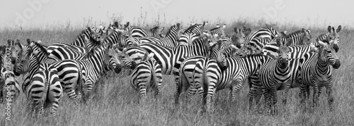 Aluminium Prints Zebra Herd of Zebra at the watering hole