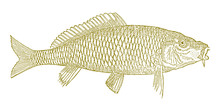 Common Carp, Cyprinus Carpio I...