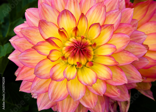 Close up of Red and Yellow dahlia flower