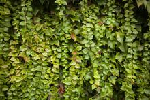Wild Grape Green Wall