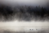 Lake in fog with three ducks (mergansers) on the foreground. Lax Lake, Minnesota, USA. - 201791895
