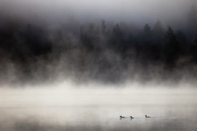 Lake In Fog With Three Ducks (...