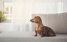 Noble Long-bodied Dachshund Is Sitting On Comfortable Sofa At Home. It Is Looking Aside With Concentration. Copy Space