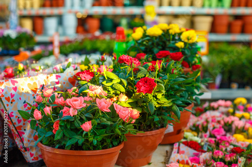 decorative roses of different colors in flowerpots, beautiful bright flowers Canvas Print