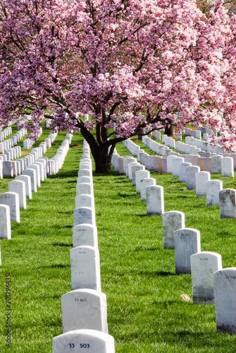 Foto op Canvas Begraafplaats Saucer Magnolia Tree at Arlington Cemetery Virginia