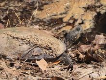 Mimetism Of Medium Size Turtle...