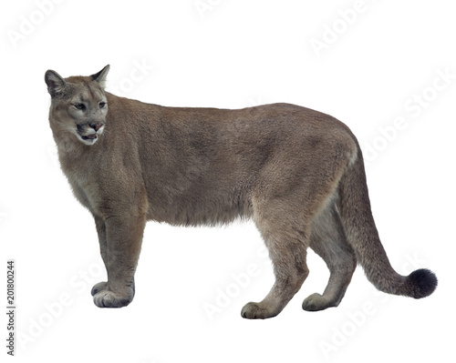 In de dag Puma Florida panther or cougar