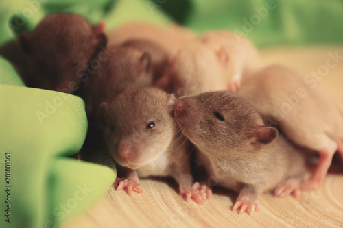 Group of small, cute, baby domesticated pet dumbo rats Poster