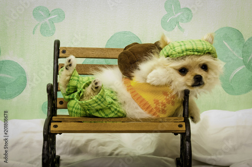 Fotografie, Obraz  Tan Pomeranian Puppy Dressed in an Irish Golfing Outfit Lying on a Tiny Bench in Front of a Glittery Shamrock Background for St