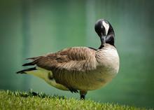 Portrait Of Canada Goose (Branta Canadensis) On Lake Preening.
