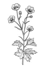 Buttercup Flower Illustration,...