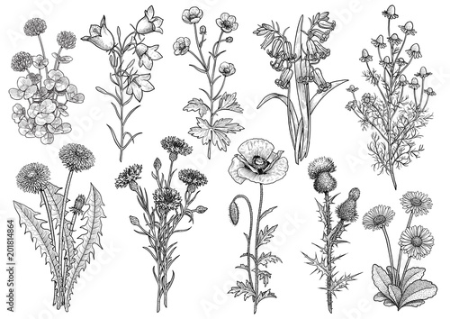 Wildflower,  bluebell, bellflower, buttercup, chamomile, clover, cornflower, dandelion, daisy, poppy, thistle collection illustration, drawing, engraving, ink, line art, vector - 201814864