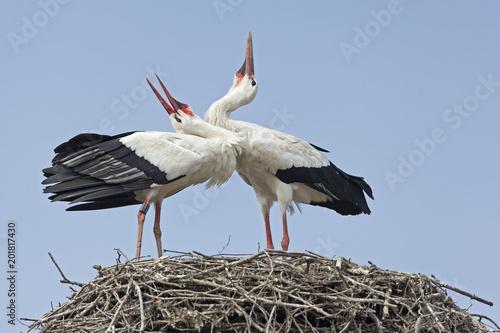 Photo coppia di cicogne sul nido