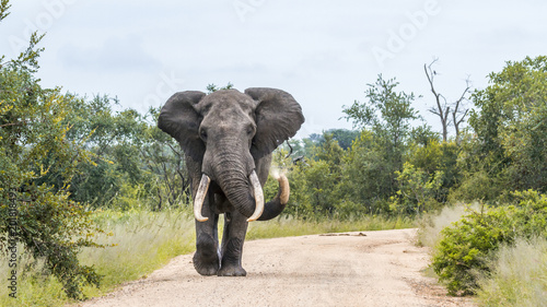 Foto op Aluminium Olifant African bush elephant in Kruger National park, South Africa