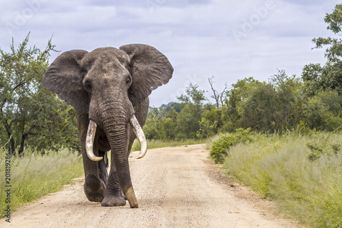 Fotobehang Olifant African bush elephant in Kruger National park, South Africa