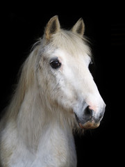 Veteran Horse Head Shot